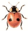Two_Spot_Ladybird