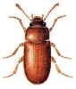 Typhaea
