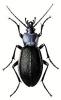 Violet_Ground_Beetle