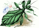 Walking_Leaf_Insect