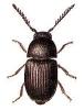 Xyletinus