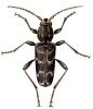 Xylotrechus