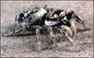 Zebra_Spider