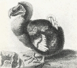dodo_bird_1626