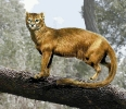 Proailurus__common_cat_ancestor