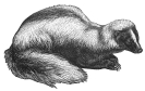 skunk_3