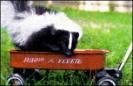 Skunk_pet