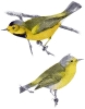 Bachmans_Warbler