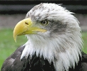 Bald_Eagle_closeup_photo