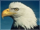 bald_eagle_profile