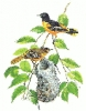Baltimore_Oriole