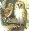 barn_owl_2