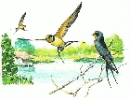 Barn_Swallow