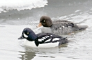 Barrows_Goldeneye