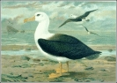Black_browed_Albatross
