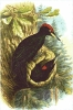 Black_Woodpecker