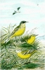 Blue_headed_Wagtail
