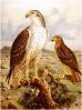 Bonellis_Eagle