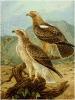 Booted_Eagle