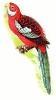 broad_tailed_parakeet