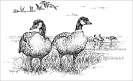 canadian_geese_2