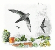 Chimney_Swift