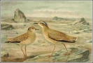 Cream_coloured_Courser
