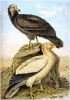 Egyptian_Vulture