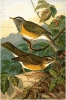 Eye_browed_Thrush