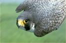 falcon_diving
