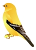 Gold_Finch