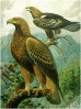 Golden_Eagle
