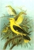 Golden_Oriole