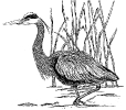 great_blue_heron_1