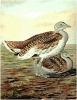 Great_Bustard