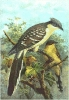 Great_Spotted_Cuckoo