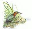 Green_Heron