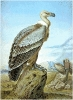 Griffon_Vulture