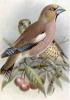 Hawfinch_2