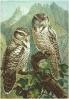 Hawk_Owl