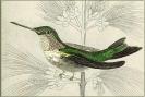 hummingbird_0