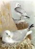 Kittiwake_Gull