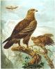 Lesser_Spotted_Eagle