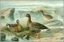 Lesser_White_fronted_Goose