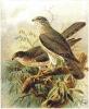Levant_Sparrowhawk