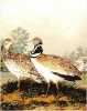 Little_Bustard