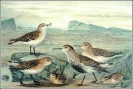 Little_Stint