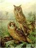 Long_eared_Owl