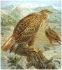 Long_legged_Buzzard