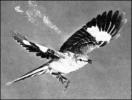 Mocking-bird